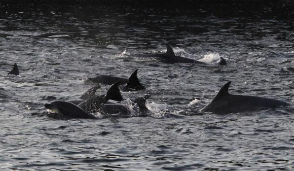 Dolphins are seen at a cove in Taiji